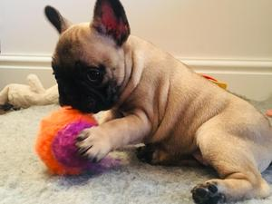 The Best Parrots In The World: French Bulldog Puppies For Sale Wisbech