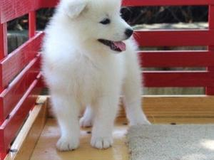 Samoyed Puppies for sale in Welwyn Garden City