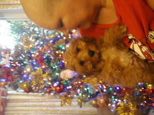 Cavapoo Puppies For Sale In Greater London Dogsandpuppies Co Uk