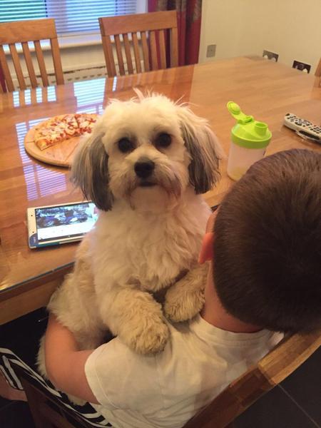 Gorgeous Shichon Puppy Shih Tzu X Bichon Frise In Livingston