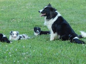 Border Collie Puppies for sale | DogsandPuppies co uk