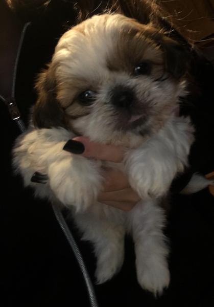 Shih Tzu Puppies For Sale In Wigan Dogsandpuppiescouk