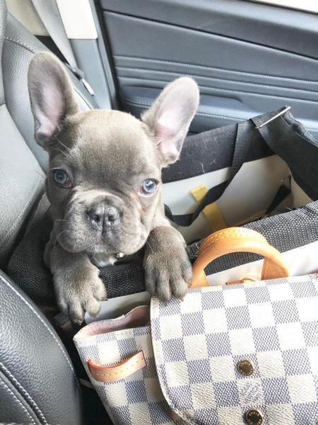 Absolutely Stunning Blue French Bulldog Puppies Ready In