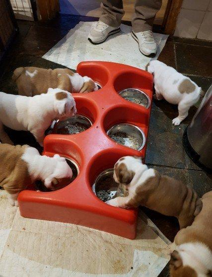 cas-ble amazing 10 weks old english bulldog puppies for sale
