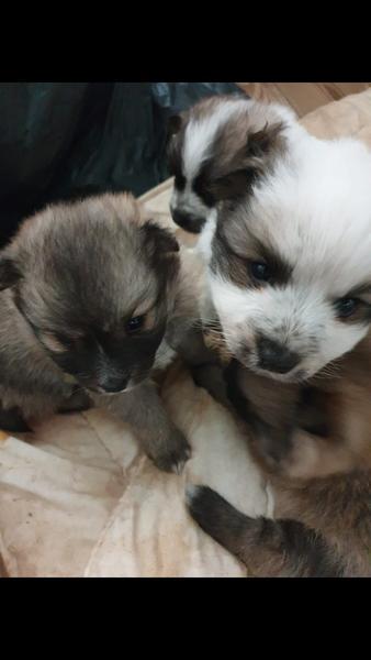 Pomeranian X Japanese Spitz Puppies In Leicester Dogsandpuppies Co Uk