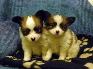 Papillon Puppies For Sale Dogsandpuppies Co Uk