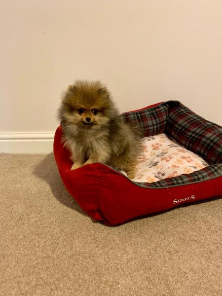 Adorable XS extra small size teacup Pomeranian girl in sable
