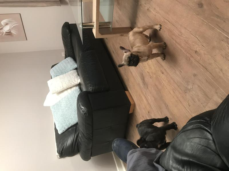 French Bulldog Puppies For Sale In Doncaster Dogsandpuppies Co Uk