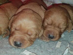 Labrador Puppies For Sale Dogsandpuppies Co Uk