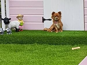 Chihuahua Puppies for sale in West Midlands | DogsandPuppies co uk