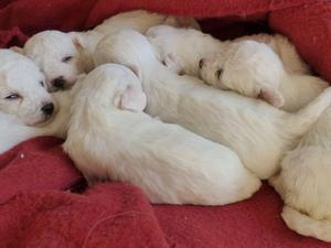 Bichon Frise Puppies for sale | DogsandPuppies co uk