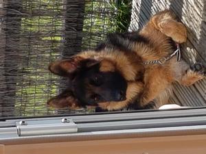 German Shepherd Puppies For Sale Dogsandpuppiescouk