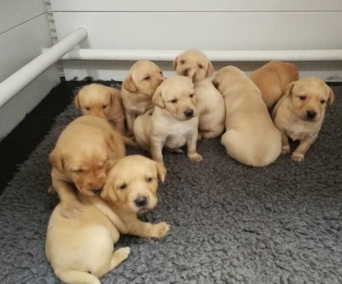 Yellow And Fox Red Labrador Puppies in Wakefield