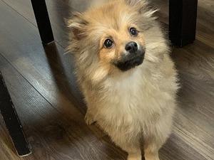 Pomeranian Puppies for sale | DogsandPuppies co uk