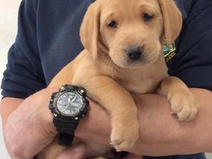 Labrador Puppies for sale in Shropshire | DogsandPuppies co uk