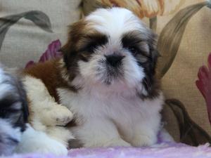 Shih Tzu Puppies For Sale Dogsandpuppiescouk