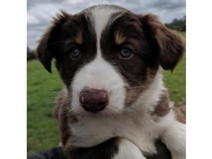Border Collie Puppies For Sale Dogsandpuppiescouk