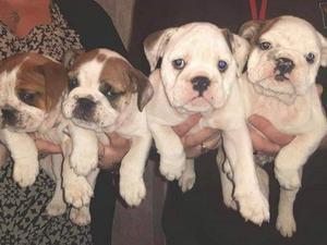 English Bulldog Puppies for sale in Enfield | DogsandPuppies