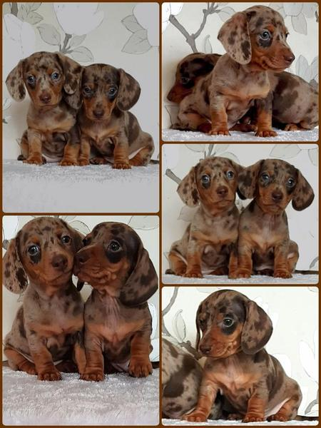 KC registered chocolate dapple & lilac dapple miniature dachshund