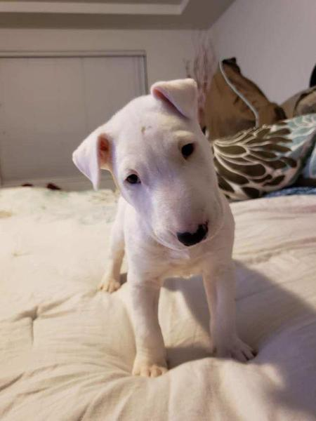 Adorable English bull terrier puppy   KC (imported bloodlines