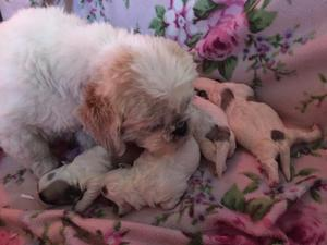 Poodle Puppies For Sale Dogsandpuppiescouk