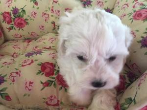 Maltese Puppies for sale | DogsandPuppies co uk