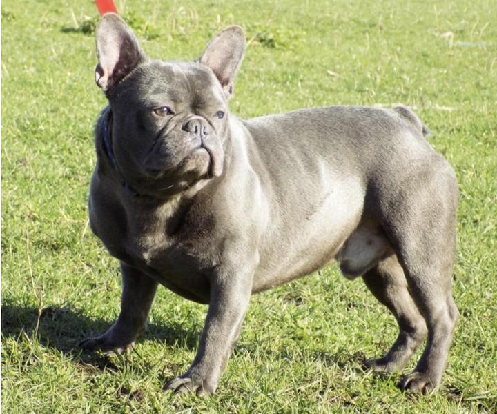 *Reduced* Beautiful Silver Blue French Bulldog Puppies in Castleford