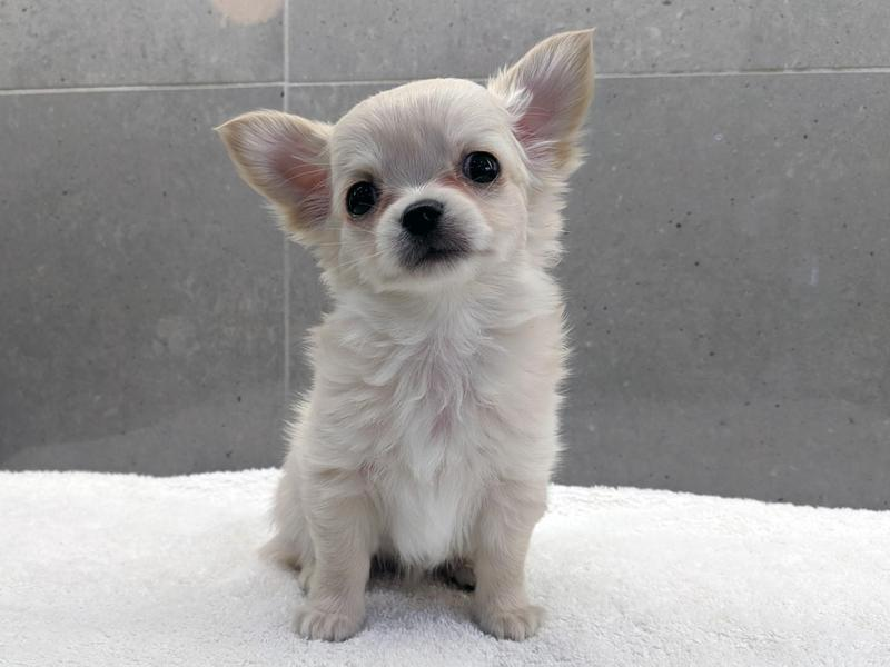 Female And Male Kennel Club Long Haired Chihuahua