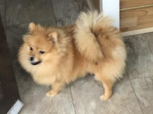 Pomeranian Puppies for sale in Deeside | DogsandPuppies co uk