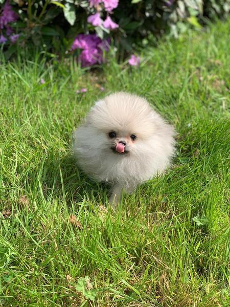 Gorgeous extra small silver teddy bear teacup Pomeranian in