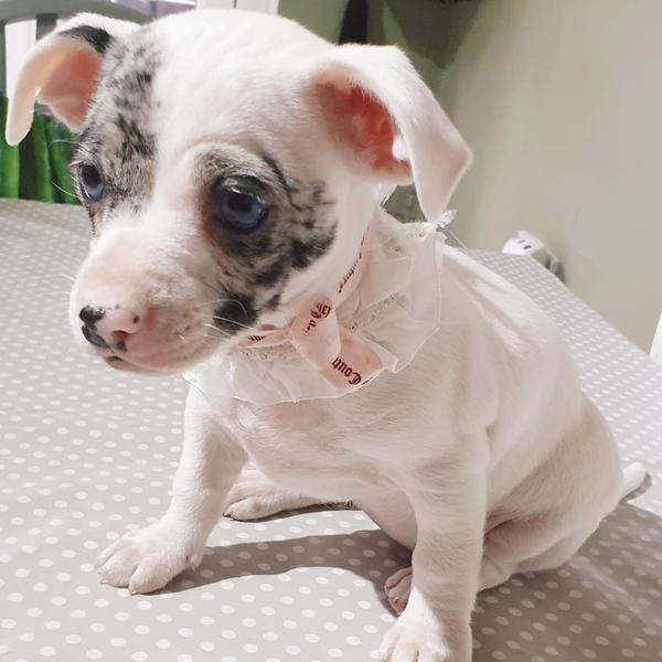 Rare Lilac And Blue Merle Chihuahua X Jack Pups In