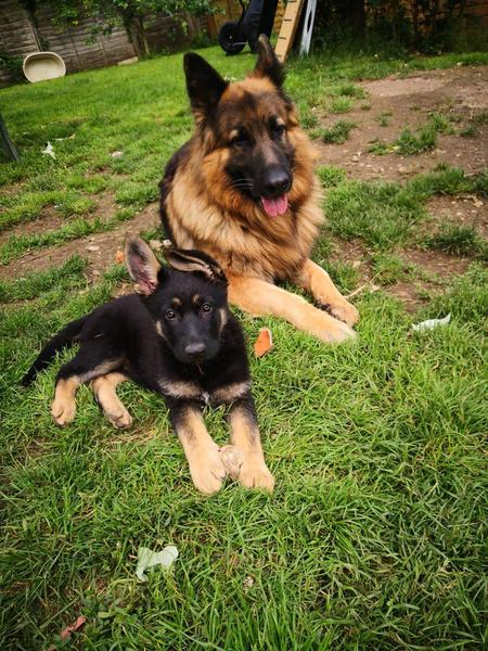German Shepherd Puppies For Sale in | DogsandPuppies.co.uk
