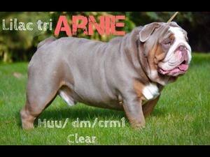 English Bulldog Puppies for sale | DogsandPuppies co uk