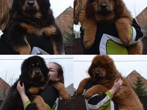 Tibetan mastiff Puppies for sale in Manchester | DogsandPuppies co uk