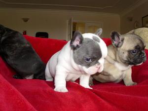 Bulldog Puppies for sale | DogsandPuppies co uk