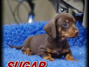 Miniature Dachshund Puppies for sale | DogsandPuppies co uk