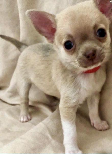 Lilac fawn KC registered chihuahua puppies  Superior quality