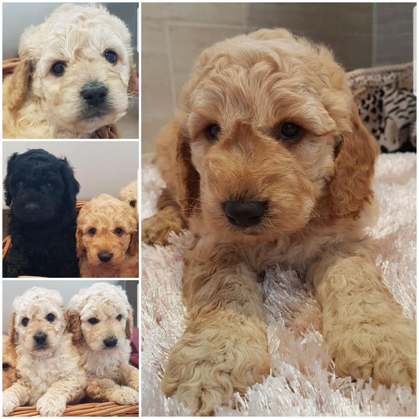 Cockapoo puppy f1b in | DogsandPuppies co uk