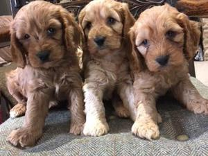 Puppies for sale in South West | DogsandPuppies co uk