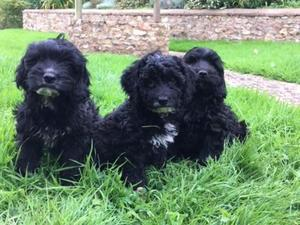 Cockapoo Puppies for sale in South West | DogsandPuppies co uk