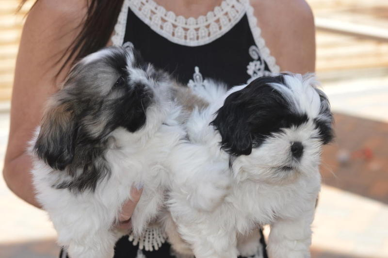 2 Male Shih Tzu Puppies for sale in | DogsandPuppies co uk