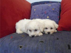 Bichon Frise Puppies for sale in Boston | DogsandPuppies co uk