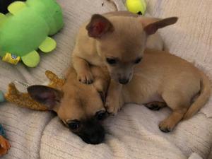 Chihuahua Puppies For Sale Dogsandpuppiescouk