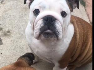 Bulldog Puppies For Sale Dogsandpuppiescouk