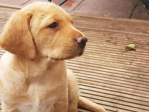Gorgeous KC registered black and fox Red labrador puppies  in