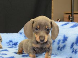 Beautiful chocolate and blue dapple colour carrier dachshund
