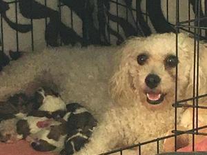 Zuchon Puppies for sale in Essex | DogsandPuppies co uk