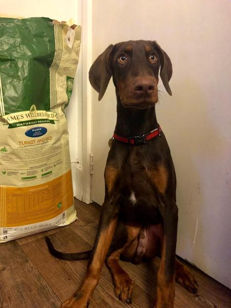KC registered 1-year old Doberman pup for sale in Brighton