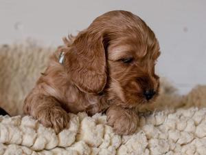 Cockapoo Puppies for sale in East of England | DogsandPuppies co uk