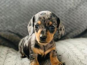 Miniature Dachshund Puppies for sale in Leamington Spa